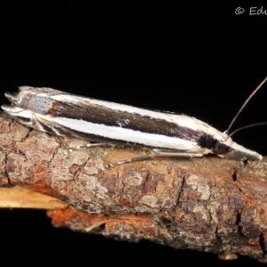 Angustalius malacellus