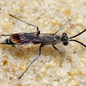 Pompilus cinereus