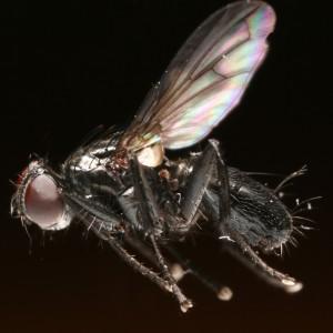 Catharosia pygmaea