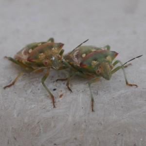 http://naturdata.com/images/species/25000/Chroantha-ornatula-25237-141393149683214-tb.jpg