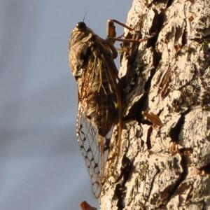 Cicada orni