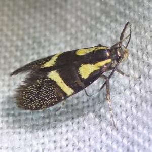 http://naturdata.com/images/species/25000/Esperia-oliviella-25664-142150659340682-tb.jpg