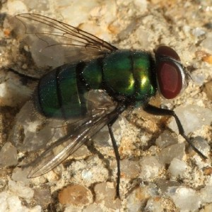 Chrysomya albiceps