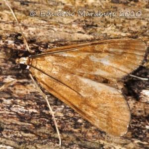 Elophila feili