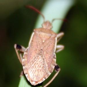 Ceraleptus obtusus