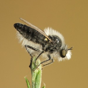 Eriopogon laniger