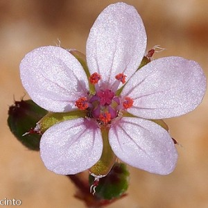 Erodium aethiopicum subsp. pilosum