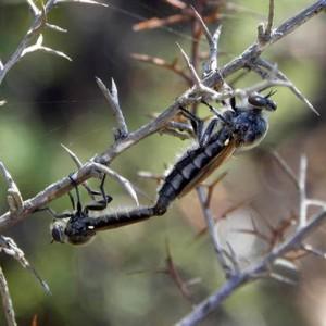 Heteropogon nubilus