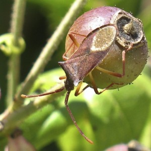 Gonocerus insidiator