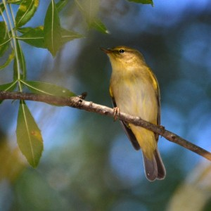 Phylloscopus ibericus