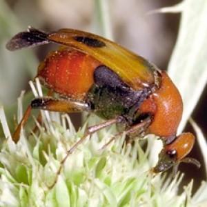 Macrosiagon tricuspidatum