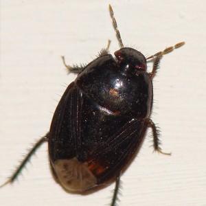 Macroscytus brunneus