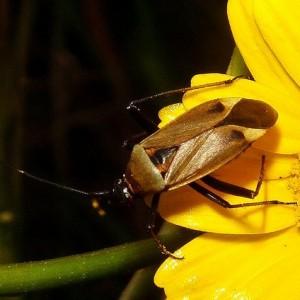 Macrotylus nigricornis