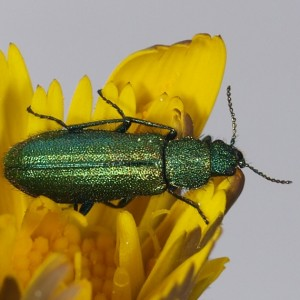 Psilothrix illustris