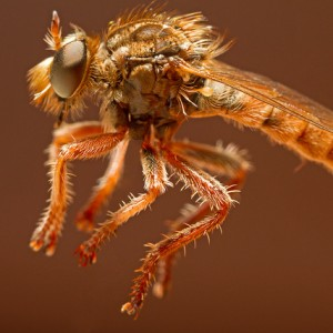 Habropogon appendiculatus