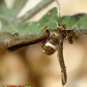Tinthia tineiformis