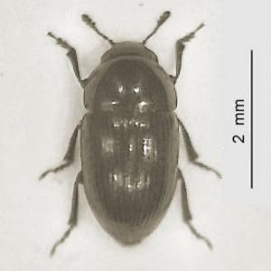 Tolyphus granulatus