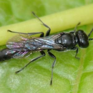 Trypoxylon figulus