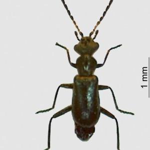 Troglops marginatus