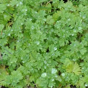 Aphanes australis