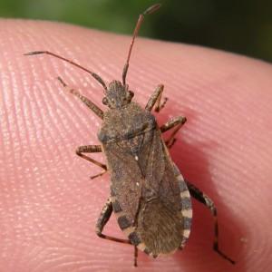 Ceraleptus gracilicornis