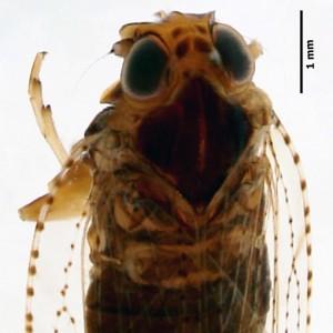Cixius azopifajo azofa