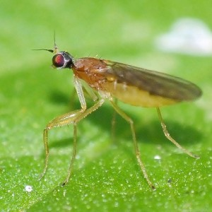 Phyllodromia melanocephala