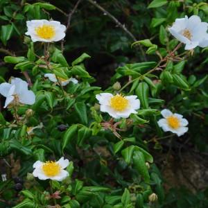 Flores e folhas © Ian & Clare Smith