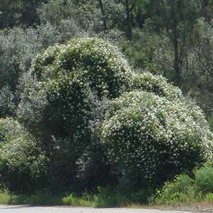 As árvores (cobertas pela rosa) são zambujeiras © Ian & Clare Smith
