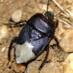 Cydnus aterrimus