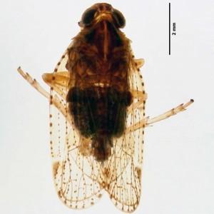 Cixius azomariae
