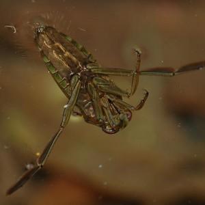 Notonecta glauca