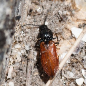 Anostirus haemapterus