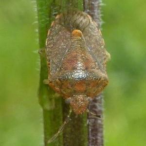 Dryadocoris apicalis