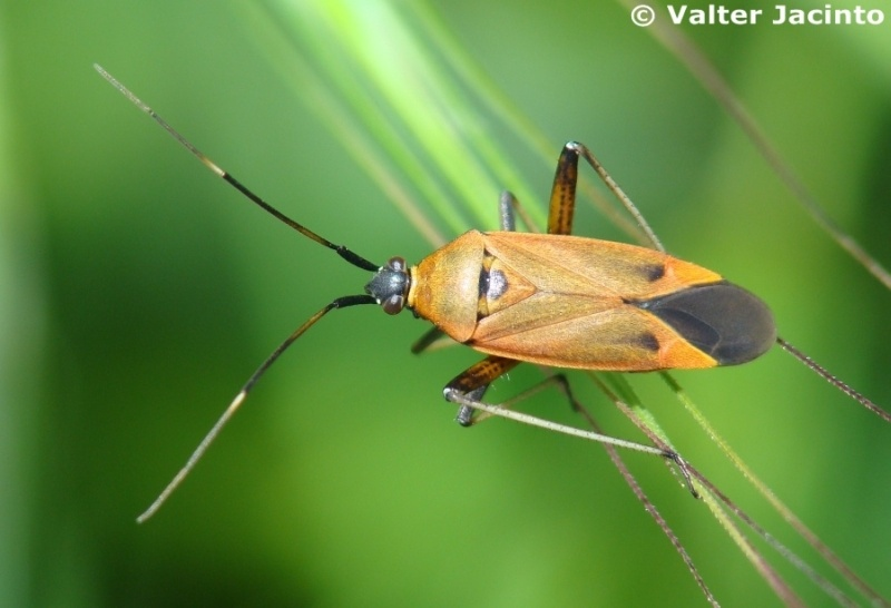 Calocoris nemoralis forma pallida © Valter Jacinto