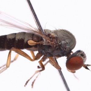 Agathomyia antennata