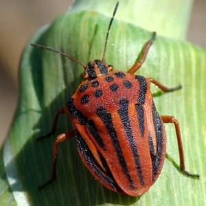 http://naturdata.com/images/species/30000/thumbnail_1269696304.jpg