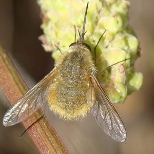 Bombylius fulvescens