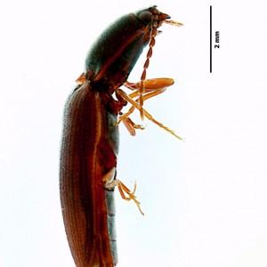 Athous azoricus