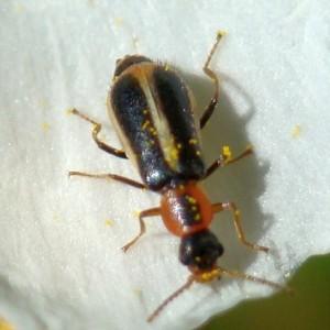 Attalus limbatus