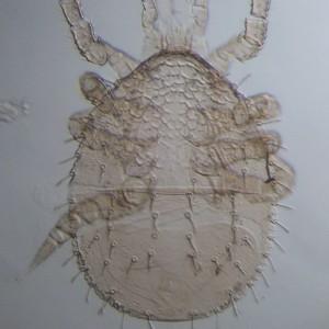 Parazercon radiatus