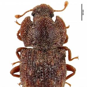Tarphius rufonodulosus