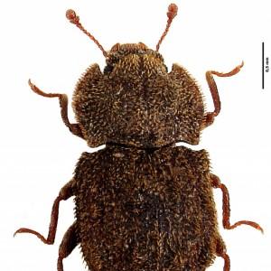 Tarphius azoricus