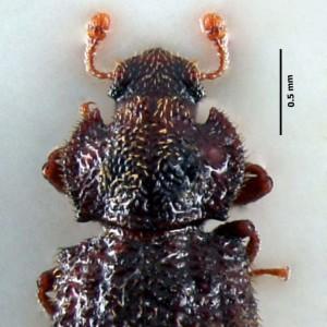 Tarphius wollastoni