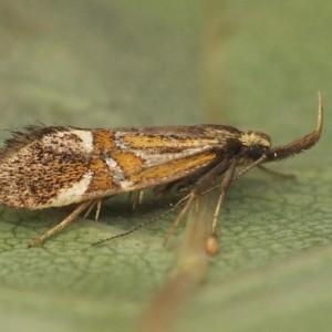 Alabonia herculeella