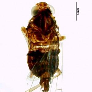 Cixius azopicavus