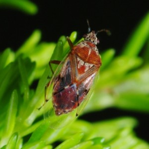 Kleidocerys ericae