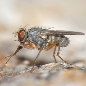 Lispocephala mikii