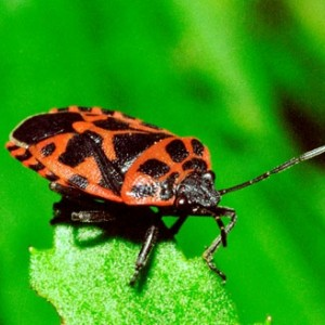 http://naturdata.com/images/species/32000/thumbnail_1250328811.jpg