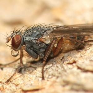 Lispocephala brachialis